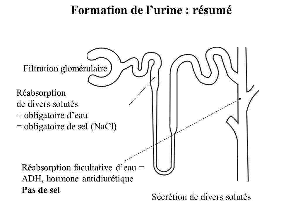 Réabsorption de divers solutés + obligatoire d'eau = obligatoire de sel (NaCl) Réabsorption facultative d'eau = ADH, hormone antidiurétique Pas de sel