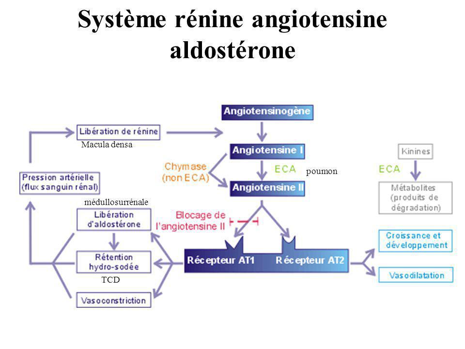 poumon Macula densa médullosurrénale TCD Système rénine angiotensine aldostérone