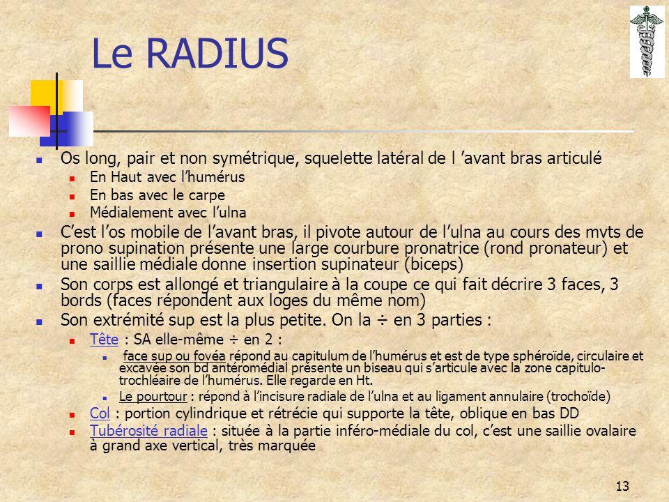13 Le RADIUS Os long, pair et non symétrique, squelette latéral de l 'avant bras articulé En Haut avec l'humérus En bas avec le carpe Médialement avec
