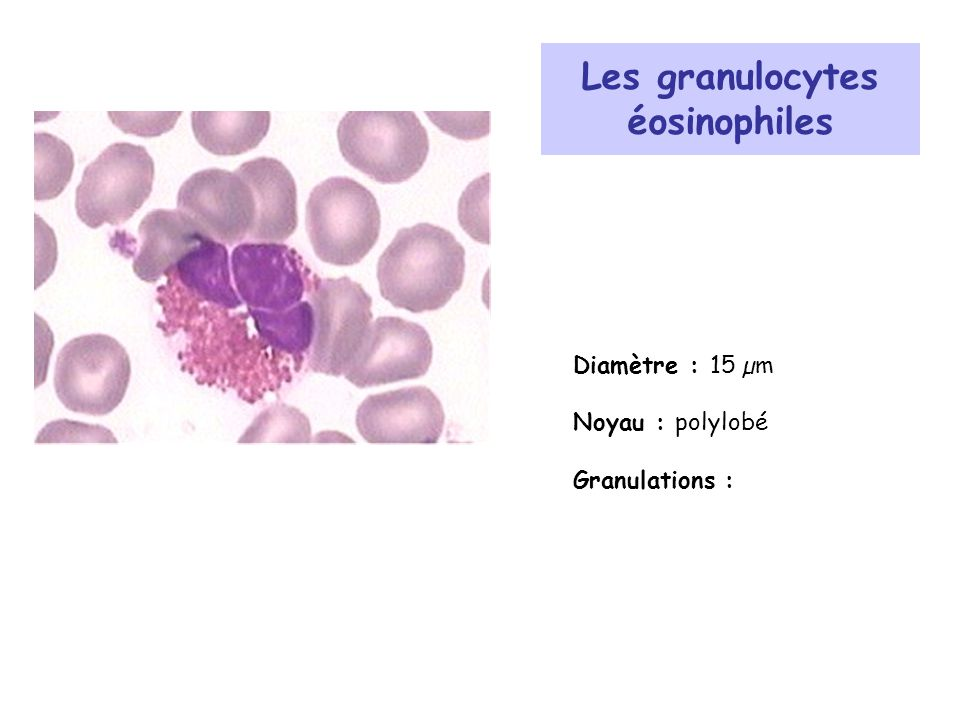 Les granulocytes éosinophiles Diamètre : 15 µm Noyau : polylobé Granulations :