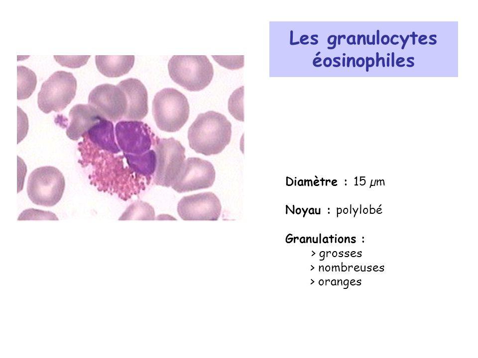 Les granulocytes éosinophiles Diamètre : 15 µm Noyau : polylobé Granulations : > grosses > nombreuses > oranges