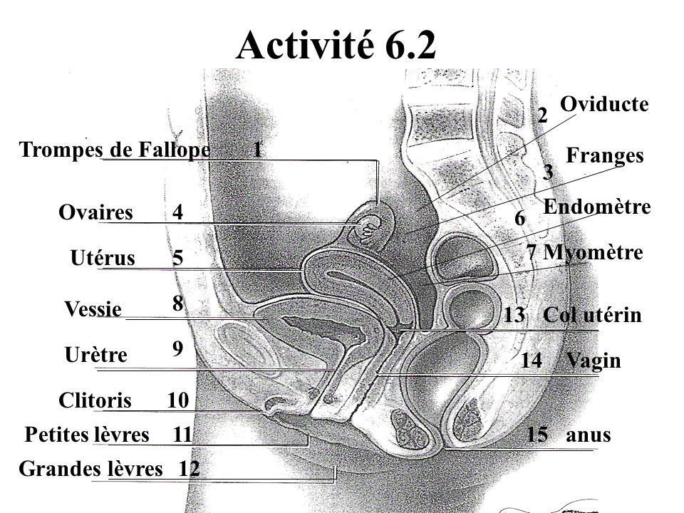 Activité 6.2 Trompes de Fallope Ovaires Utérus Vessie Urètre Clitoris Petites lèvres Grandes lèvres Oviducte Franges Endomètre Col utérin Vagin anus Myomètre 1 2 3 4 5 6 7 8 9 10 11 12 13 14 15