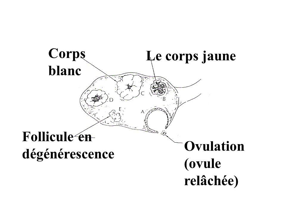 Ovulation (ovule relâchée) Le corps jaune Corps blanc Follicule en dégénérescence