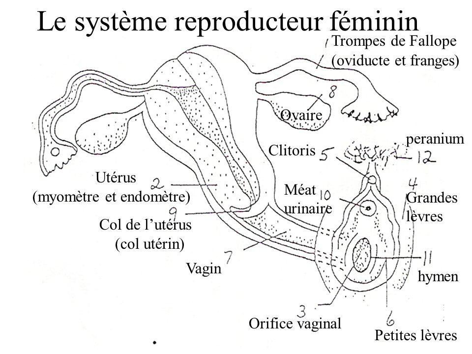 Le système reproducteur féminin Grandes lèvres Orifice vaginal Col de l'utérus (col utérin) Utérus (myomètre et endomètre) Clitoris Petites lèvres Méat urinaire Ovaire Vagin Trompes de Fallope (oviducte et franges) peranium hymen