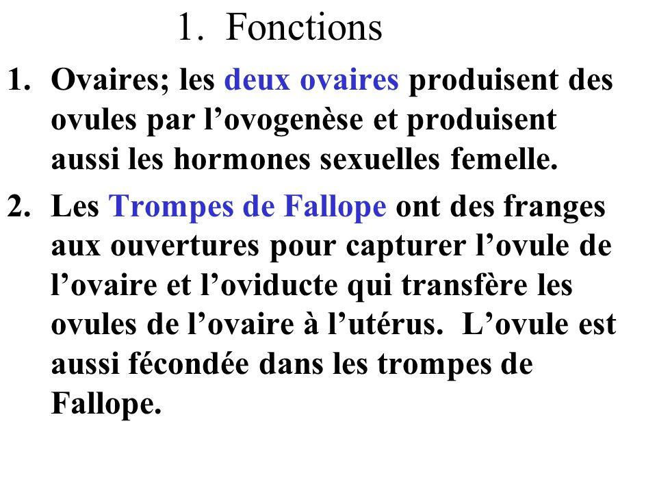 3.Utérus; organe musculaire qui a la forme et taille d'une poire inversée.