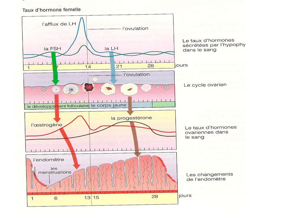 Les hormones Gonadotrophine(GnRh) libérée par l'hypothalamus Stimule production de FSH et LH FSH stimule production de follicule qui sécrète oestrogène LH déclanche ovulation et production du corps jaune qui produit progestérone