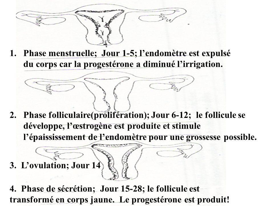 1.Phase menstruelle; Jour 1-5; l'endomètre est expulsé du corps car la progestérone a diminué l'irrigation. 2.Phase folliculaire(prolifération); Jour