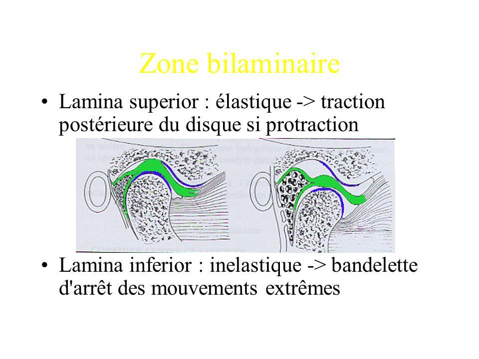 Zone bilaminaire Lamina superior : élastique -> traction postérieure du disque si protraction Lamina inferior : inelastique -> bandelette d'arrêt des
