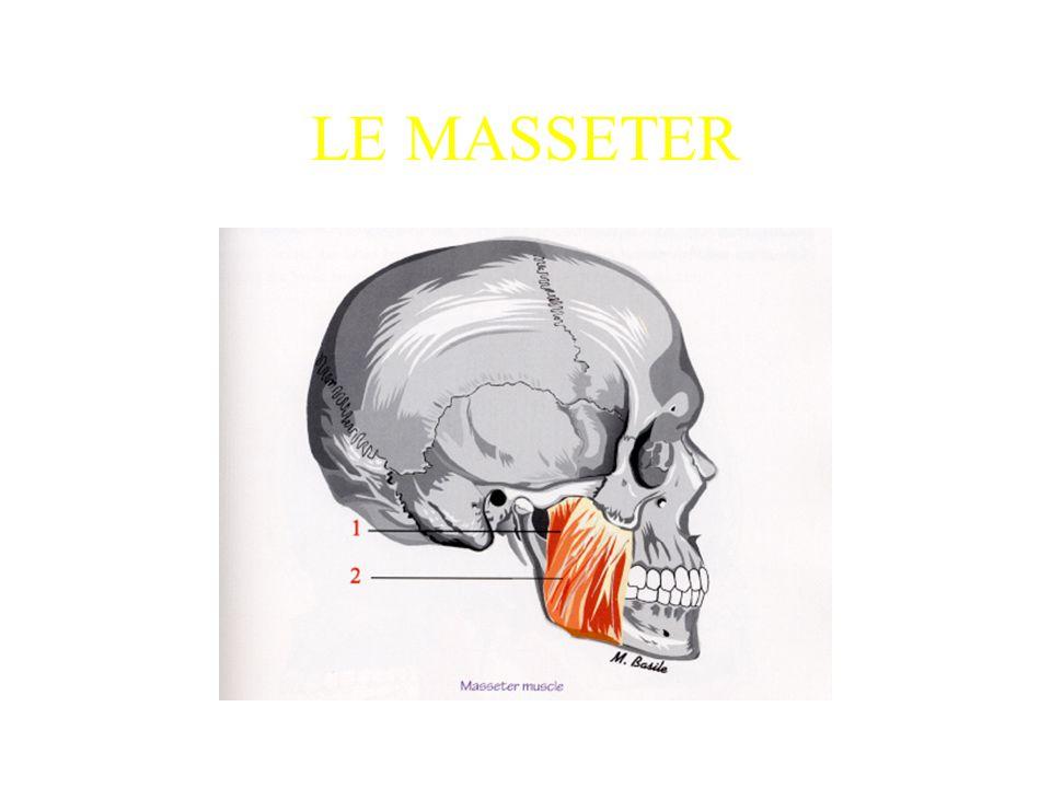 LE MASSETER