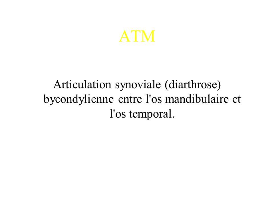 ATM Articulation synoviale (diarthrose) bycondylienne entre l'os mandibulaire et l'os temporal.