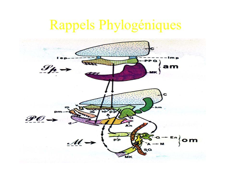 Rappels Phylogéniques