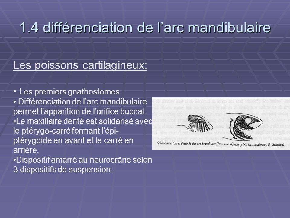 1.4 différenciation de l'arc mandibulaire Les poissons cartilagineux: Les premiers gnathostomes. Différenciation de l'arc mandibulaire permet l'appari