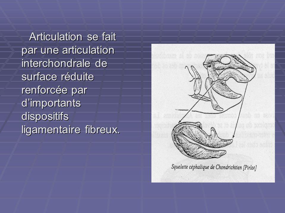 Articulation se fait par une articulation interchondrale de surface réduite renforcée par d'importants dispositifs ligamentaire fibreux. Articulation