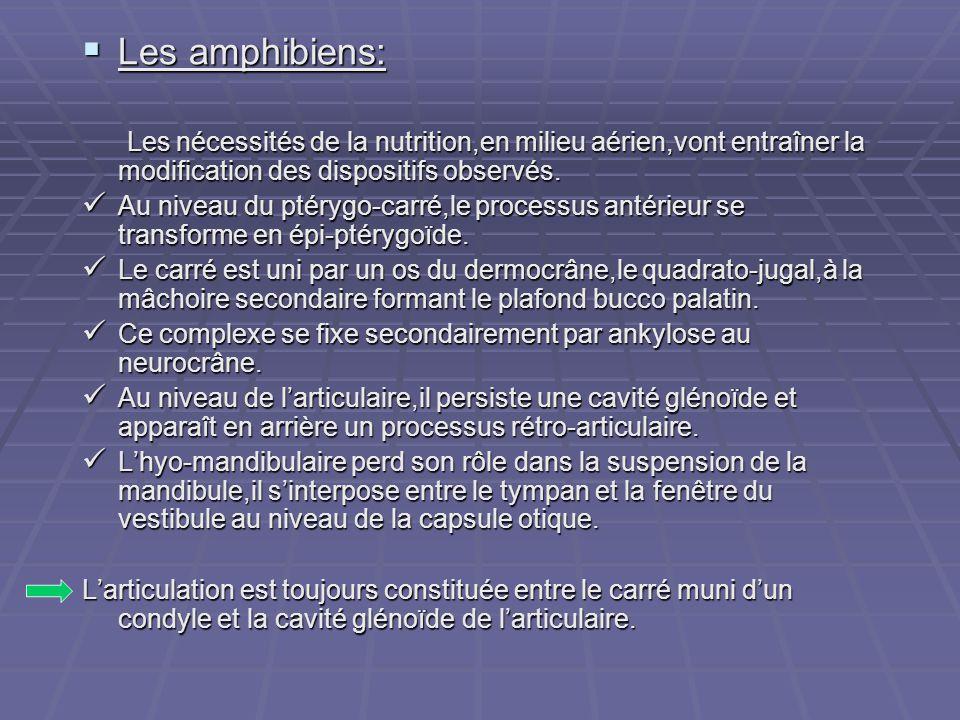  Les amphibiens: Les nécessités de la nutrition,en milieu aérien,vont entraîner la modification des dispositifs observés. Les nécessités de la nutrit