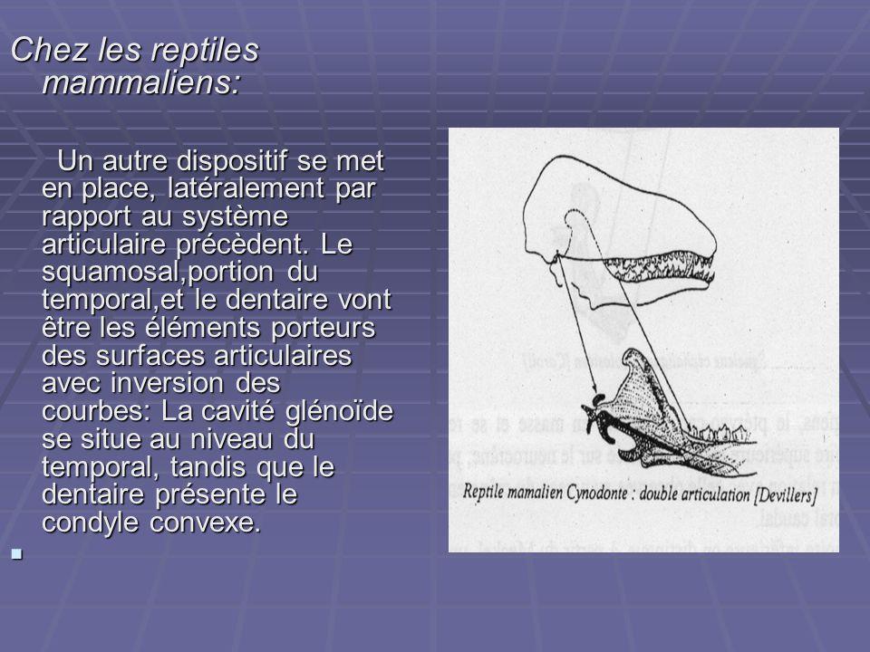 Chez les reptiles mammaliens: Un autre dispositif se met en place, latéralement par rapport au système articulaire précèdent. Le squamosal,portion du
