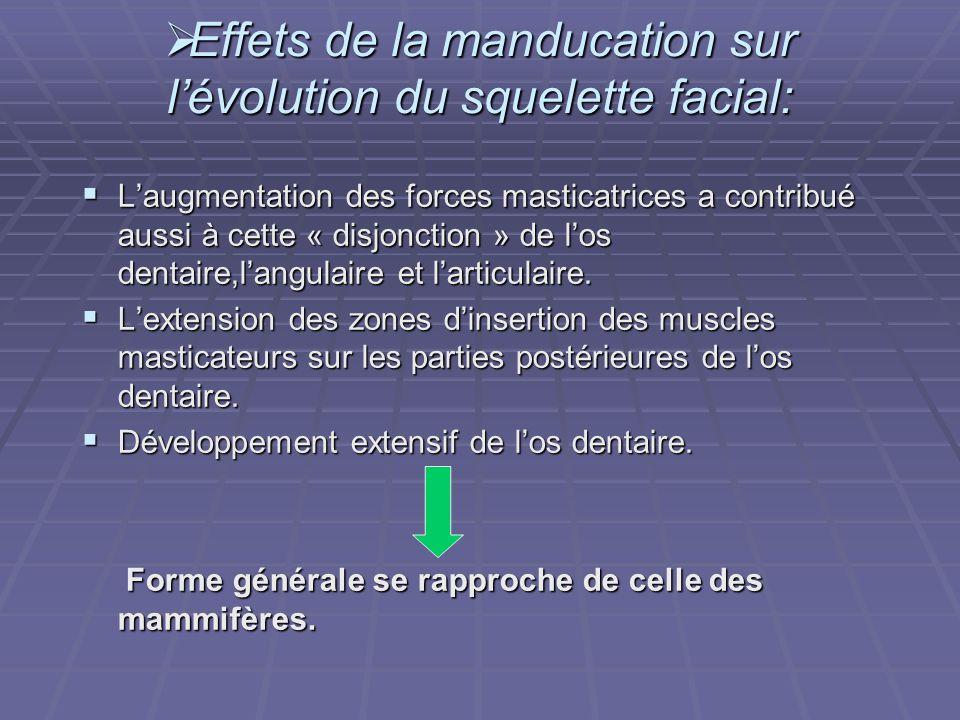  Effets de la manducation sur l'évolution du squelette facial:  L'augmentation des forces masticatrices a contribué aussi à cette « disjonction » de