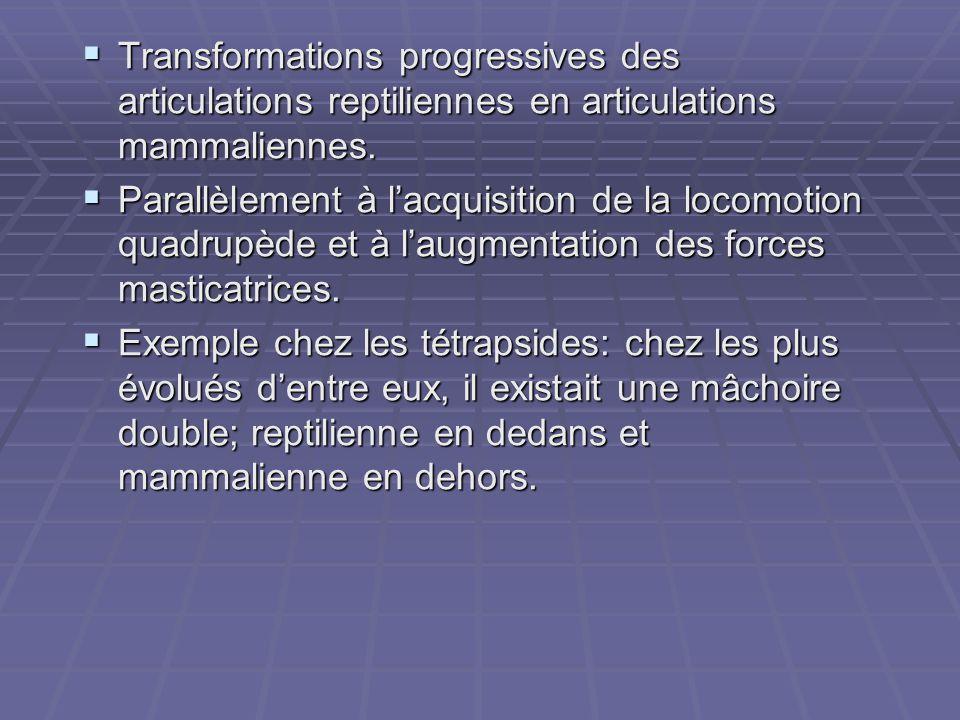  Transformations progressives des articulations reptiliennes en articulations mammaliennes.  Parallèlement à l'acquisition de la locomotion quadrupè