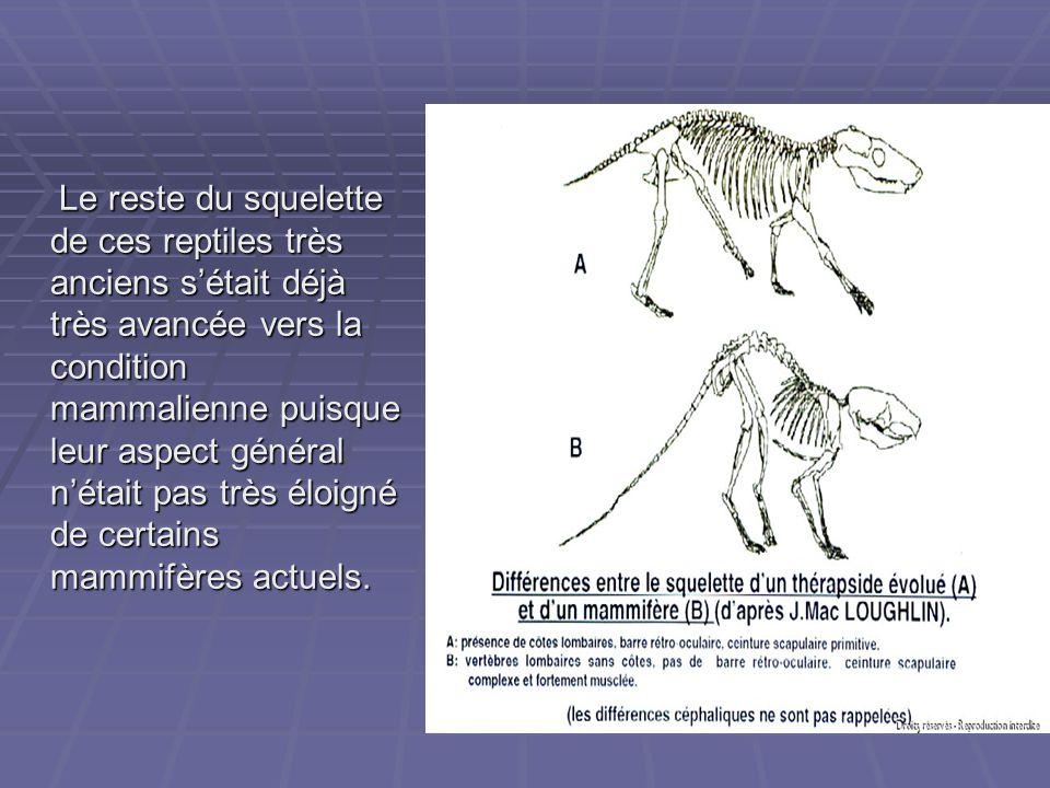 Le reste du squelette de ces reptiles très anciens s'était déjà très avancée vers la condition mammalienne puisque leur aspect général n'était pas trè