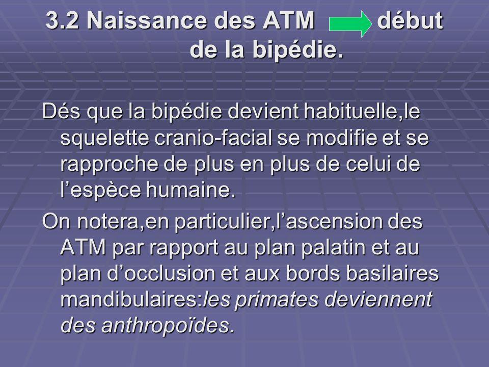 3.2 Naissance des ATM début de la bipédie. Dés que la bipédie devient habituelle,le squelette cranio-facial se modifie et se rapproche de plus en plus