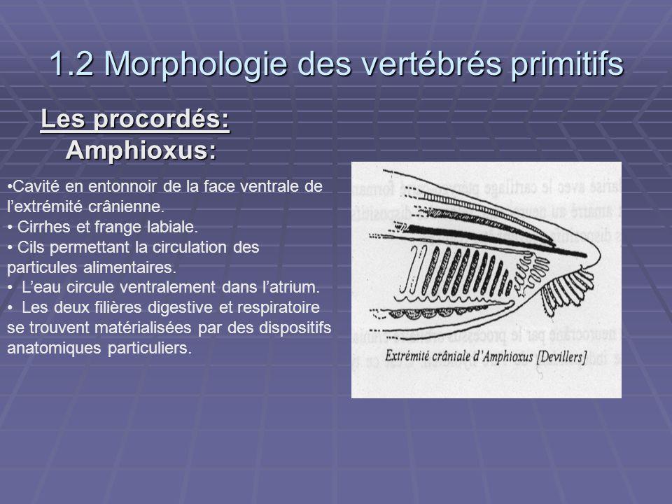 1.2 Morphologie des vertébrés primitifs Les procordés: Amphioxus: Cavité en entonnoir de la face ventrale de l'extrémité crânienne. Cirrhes et frange