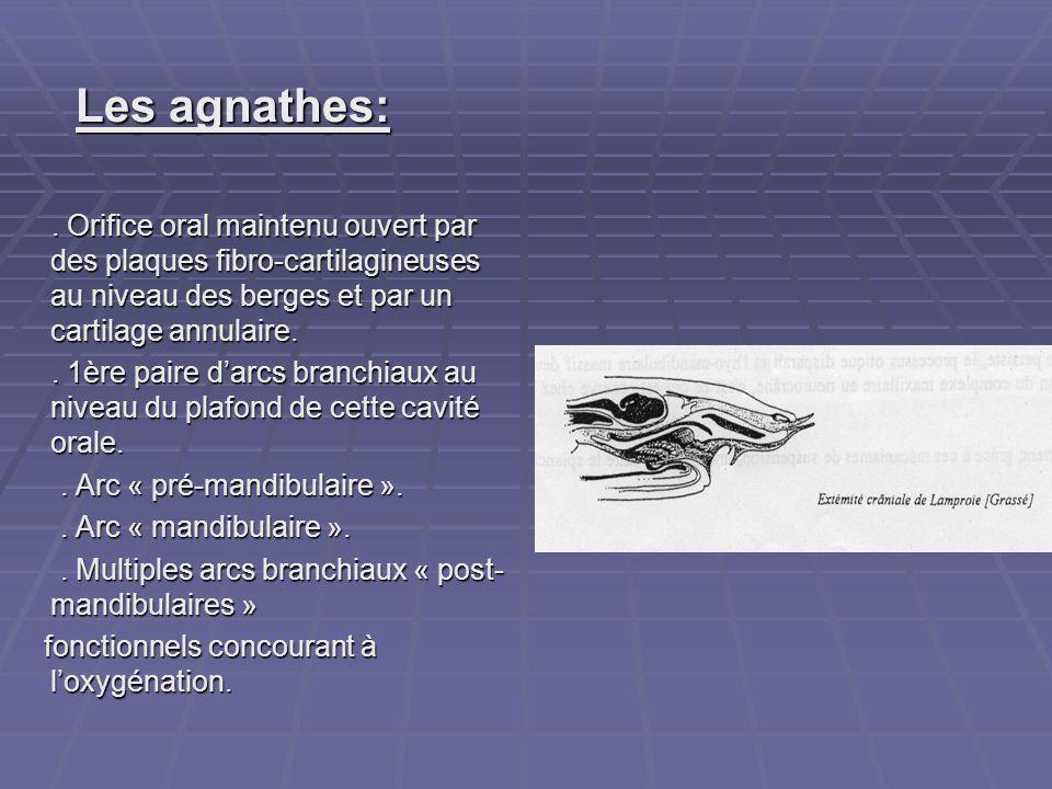 Les agnathes: Les agnathes:. Orifice oral maintenu ouvert par des plaques fibro-cartilagineuses au niveau des berges et par un cartilage annulaire.. O