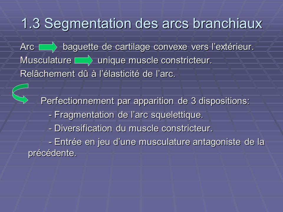 1.3 Segmentation des arcs branchiaux Arc baguette de cartilage convexe vers l'extérieur. Arc baguette de cartilage convexe vers l'extérieur. Musculatu