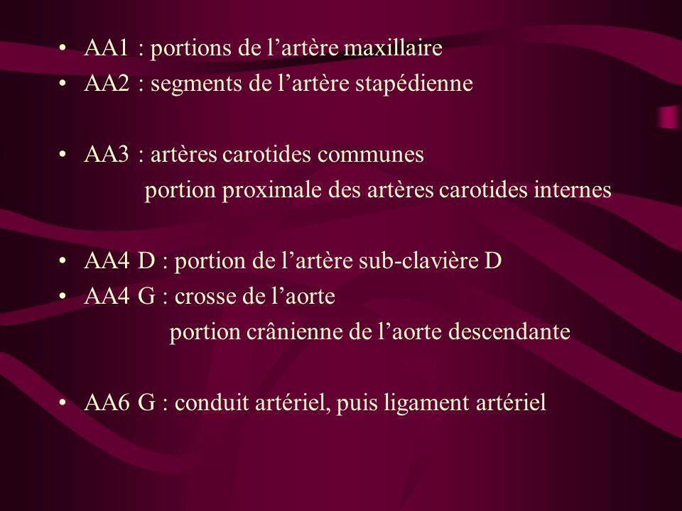 AA1 : portions de l'artère maxillaire AA2 : segments de l'artère stapédienne AA3 : artères carotides communes portion proximale des artères carotides internes AA4 D : portion de l'artère sub-clavière D AA4 G : crosse de l'aorte portion crânienne de l'aorte descendante AA6 G : conduit artériel, puis ligament artériel
