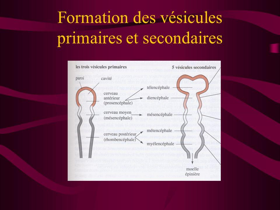 Formation des vésicules primaires et secondaires