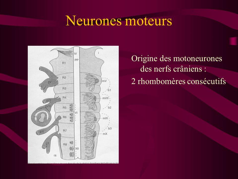 Neurones moteurs Origine des motoneurones des nerfs crâniens : 2 rhombomères consécutifs