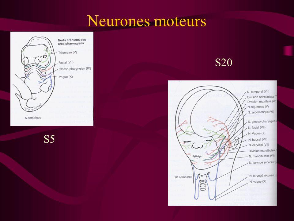 Neurones moteurs S5 S20