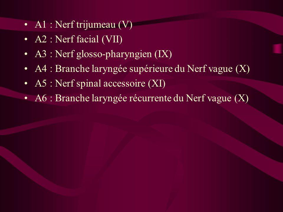 A1 : Nerf trijumeau (V) A2 : Nerf facial (VII) A3 : Nerf glosso-pharyngien (IX) A4 : Branche laryngée supérieure du Nerf vague (X) A5 : Nerf spinal accessoire (XI) A6 : Branche laryngée récurrente du Nerf vague (X)