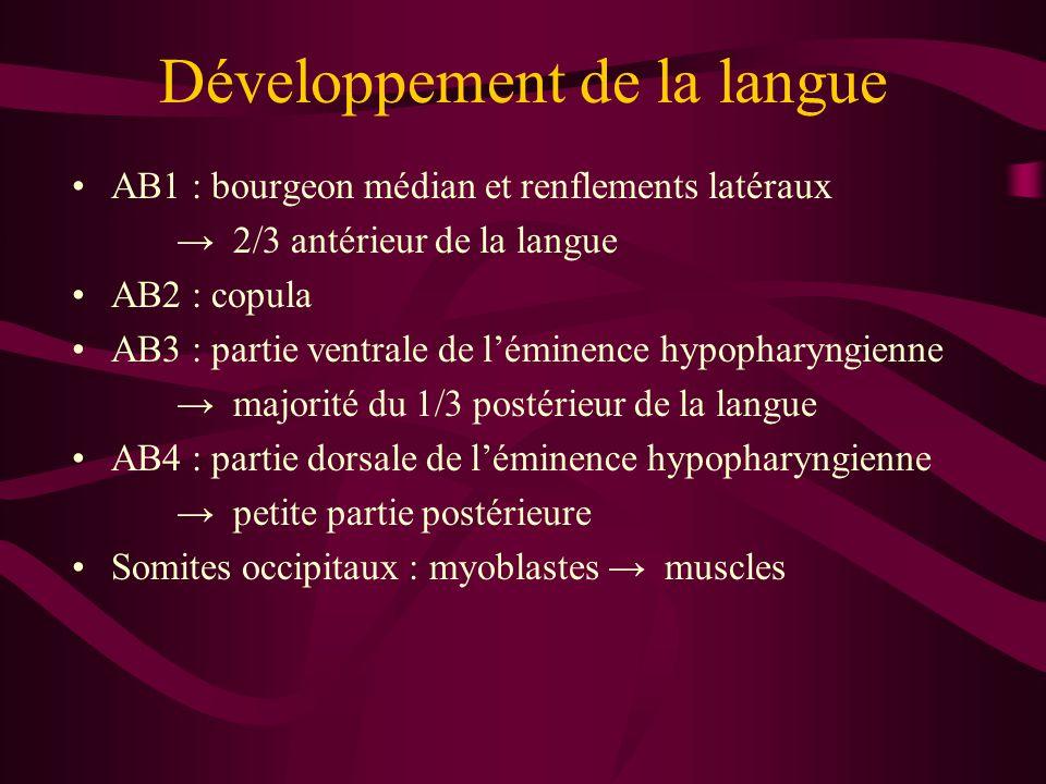 Développement de la langue AB1 : bourgeon médian et renflements latéraux → 2/3 antérieur de la langue AB2 : copula AB3 : partie ventrale de l'éminence hypopharyngienne → majorité du 1/3 postérieur de la langue AB4 : partie dorsale de l'éminence hypopharyngienne → petite partie postérieure Somites occipitaux : myoblastes → muscles