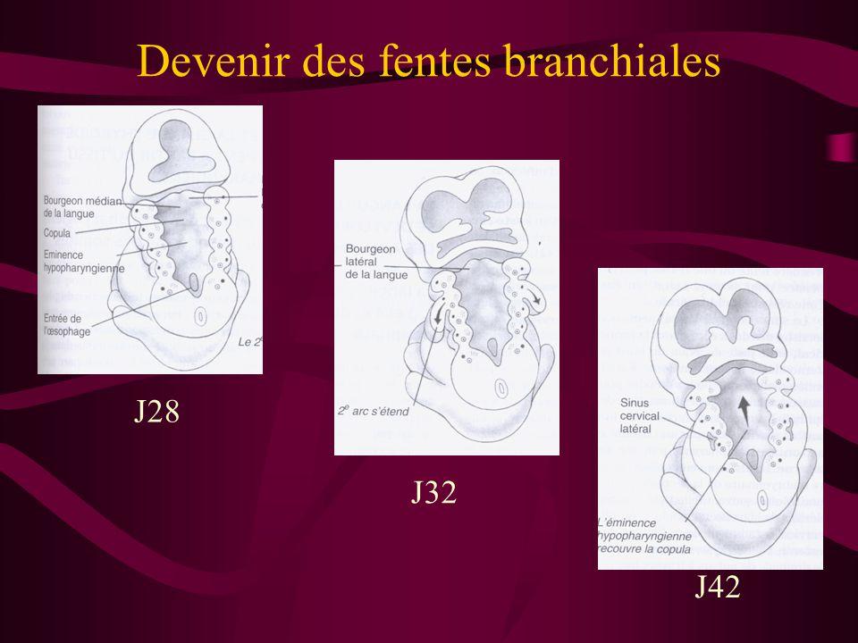 Devenir des fentes branchiales J28 J42 J32