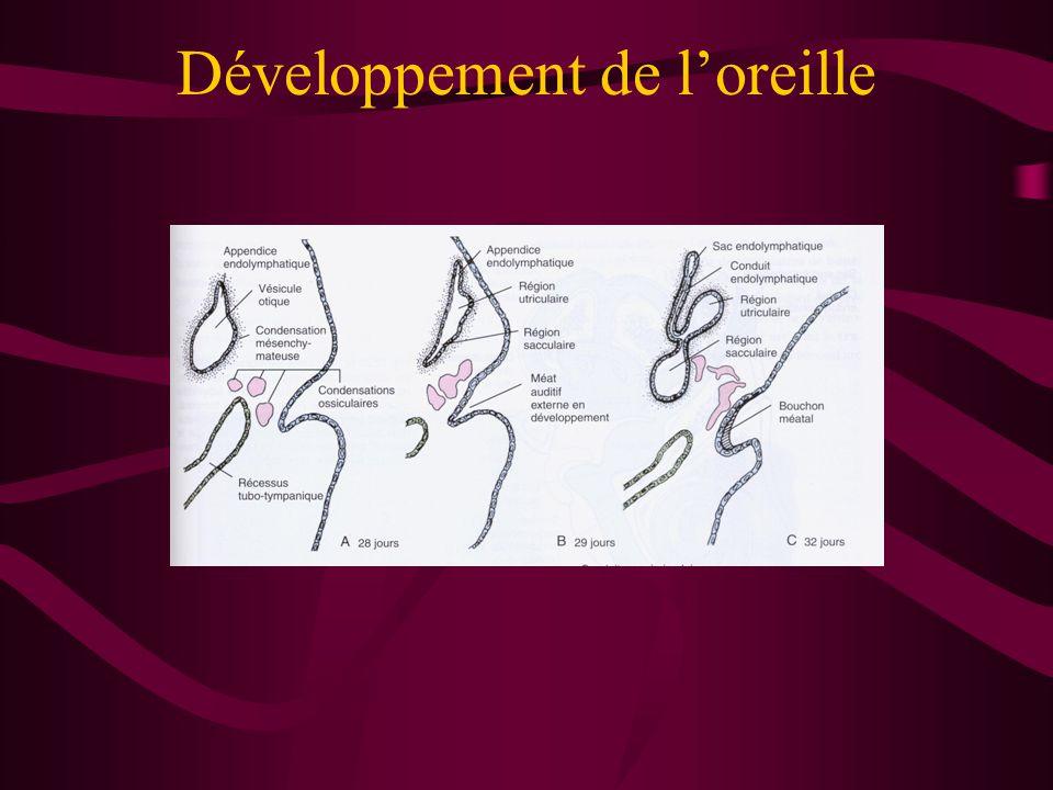 Développement de l'oreille