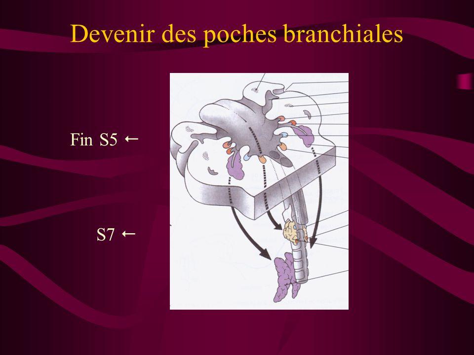 Devenir des poches branchiales Fin S5  S7 