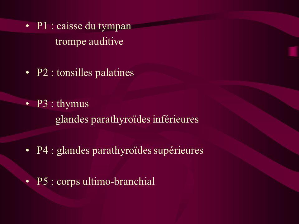 P1 : caisse du tympan trompe auditive P2 : tonsilles palatines P3 : thymus glandes parathyroïdes inférieures P4 : glandes parathyroïdes supérieures P5 : corps ultimo-branchial