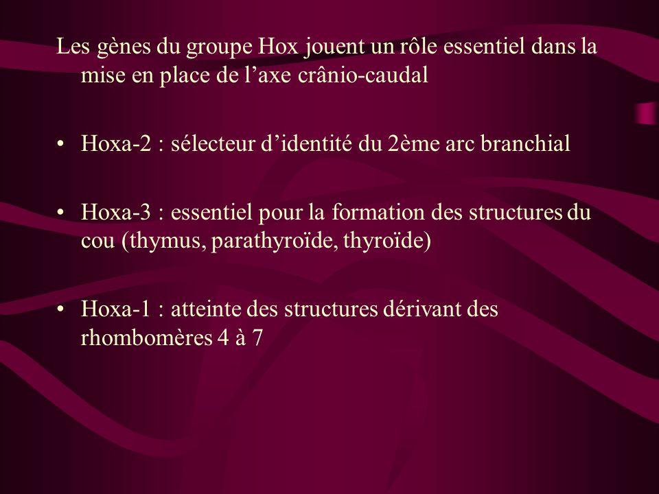 Les gènes du groupe Hox jouent un rôle essentiel dans la mise en place de l'axe crânio-caudal Hoxa-2 : sélecteur d'identité du 2ème arc branchial Hoxa-3 : essentiel pour la formation des structures du cou (thymus, parathyroïde, thyroïde) Hoxa-1 : atteinte des structures dérivant des rhombomères 4 à 7