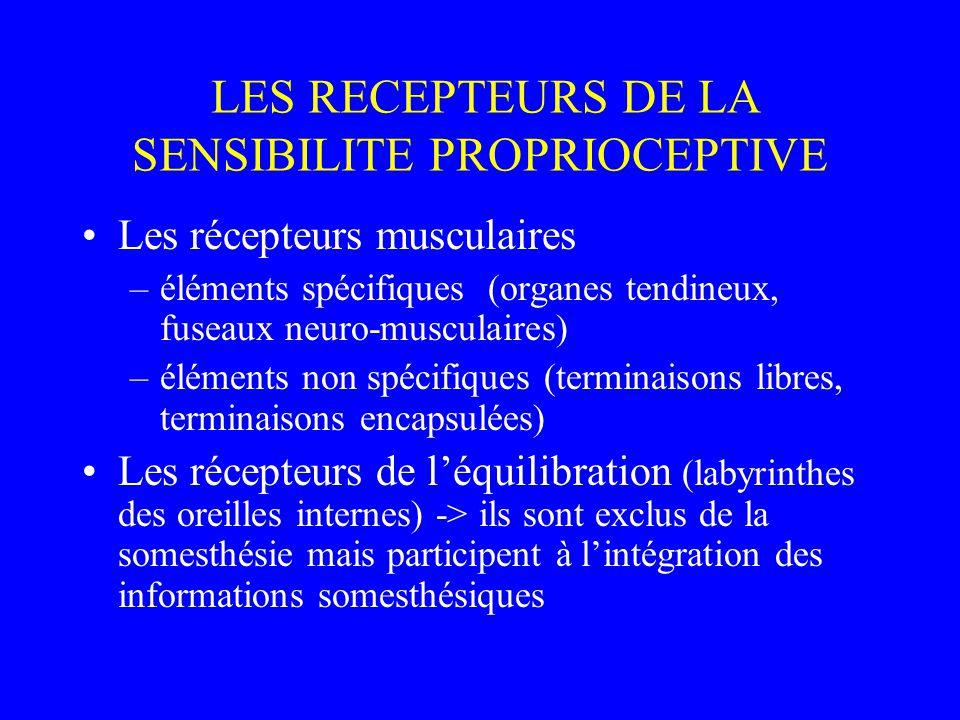 LES RECEPTEURS DE LA SENSIBILITE PROPRIOCEPTIVE Les récepteurs musculaires –éléments spécifiques (organes tendineux, fuseaux neuro-musculaires) –éléments non spécifiques (terminaisons libres, terminaisons encapsulées) Les récepteurs de l'équilibration (labyrinthes des oreilles internes) -> ils sont exclus de la somesthésie mais participent à l'intégration des informations somesthésiques