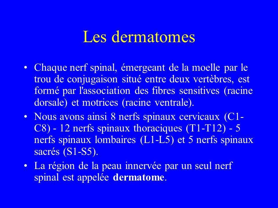 Les dermatomes Chaque nerf spinal, émergeant de la moelle par le trou de conjugaison situé entre deux vertèbres, est formé par l'association des fibre