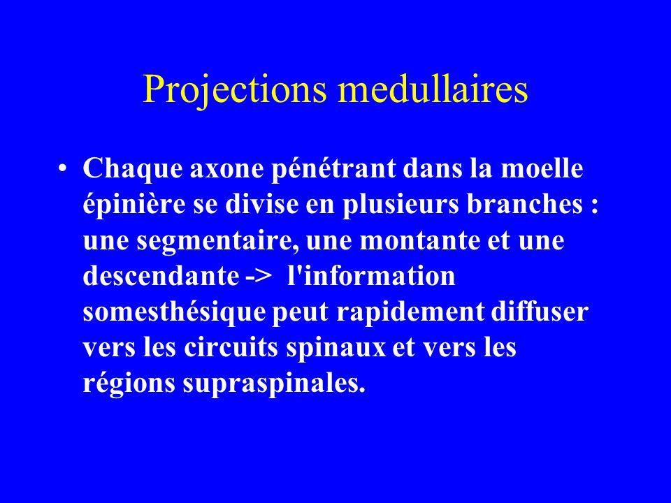 Projections medullaires Chaque axone pénétrant dans la moelle épinière se divise en plusieurs branches : une segmentaire, une montante et une descendante -> l information somesthésique peut rapidement diffuser vers les circuits spinaux et vers les régions supraspinales.