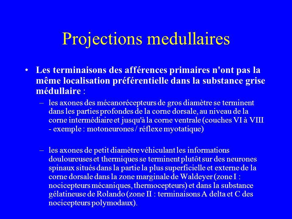 Projections medullaires Les terminaisons des afférences primaires n ont pas la même localisation préférentielle dans la substance grise médullaire : –les axones des mécanorécepteurs de gros diamètre se terminent dans les parties profondes de la corne dorsale, au niveau de la corne intermédiaire et jusqu à la corne ventrale (couches VI à VIII - exemple : motoneurones / réflexe myotatique) –les axones de petit diamètre véhiculant les informations douloureuses et thermiques se terminent plutôt sur des neurones spinaux situés dans la partie la plus superficielle et externe de la corne dorsale dans la zone marginale de Waldeyer (zone I : nocicepteurs mécaniques, thermocepteurs) et dans la substance gélatineuse de Rolando (zone II : terminaisons A delta et C des nocicepteurs polymodaux).