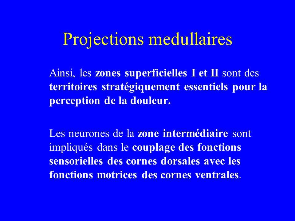 Projections medullaires Ainsi, les zones superficielles I et II sont des territoires stratégiquement essentiels pour la perception de la douleur. Les