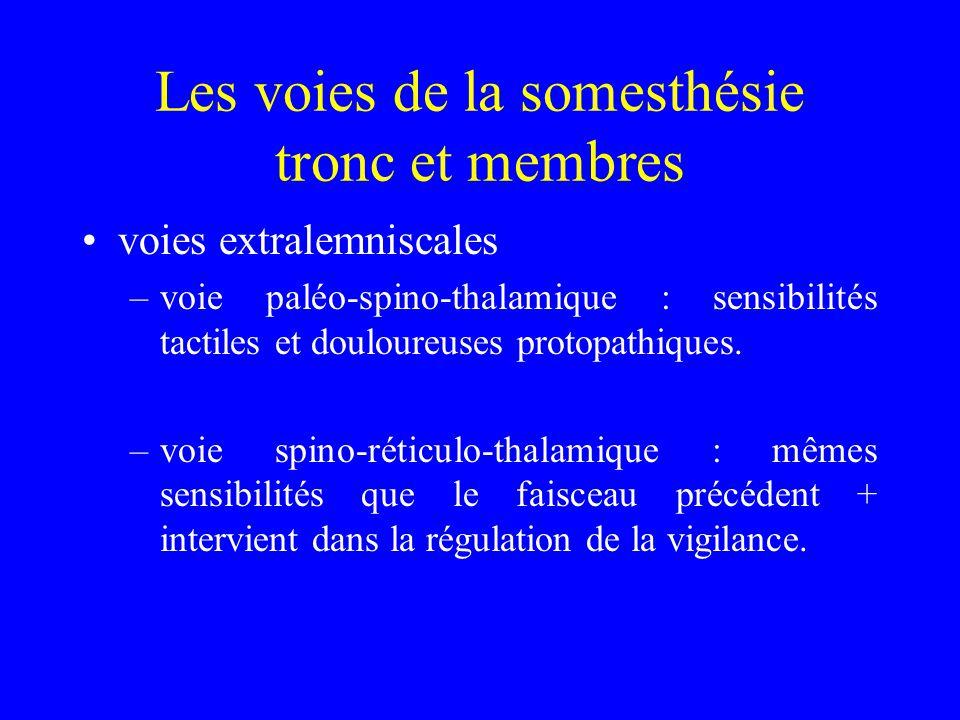 Les voies de la somesthésie tronc et membres voies extralemniscales –voie paléo-spino-thalamique : sensibilités tactiles et douloureuses protopathiques.