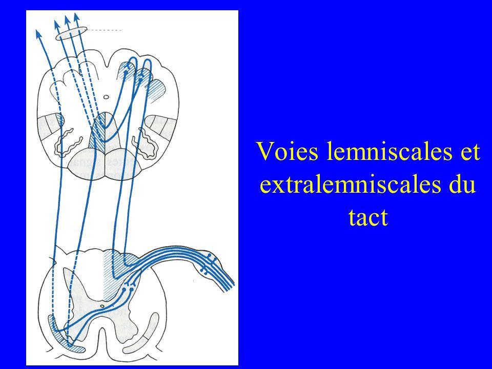 Voies lemniscales et extralemniscales du tact