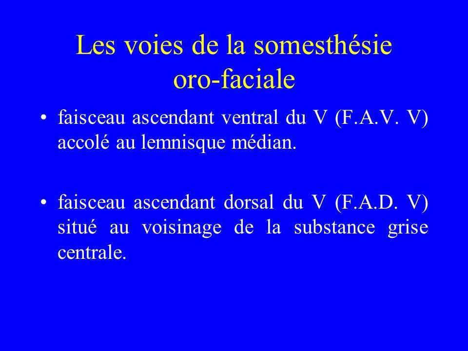 Les voies de la somesthésie oro-faciale faisceau ascendant ventral du V (F.A.V. V) accolé au lemnisque médian. faisceau ascendant dorsal du V (F.A.D.