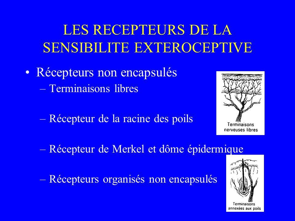 LES RECEPTEURS DE LA SENSIBILITE EXTEROCEPTIVE Récepteurs non encapsulés –Terminaisons libres –Récepteur de la racine des poils –Récepteur de Merkel e