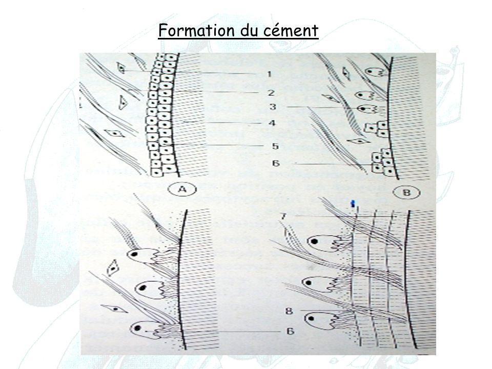 Formation du cément