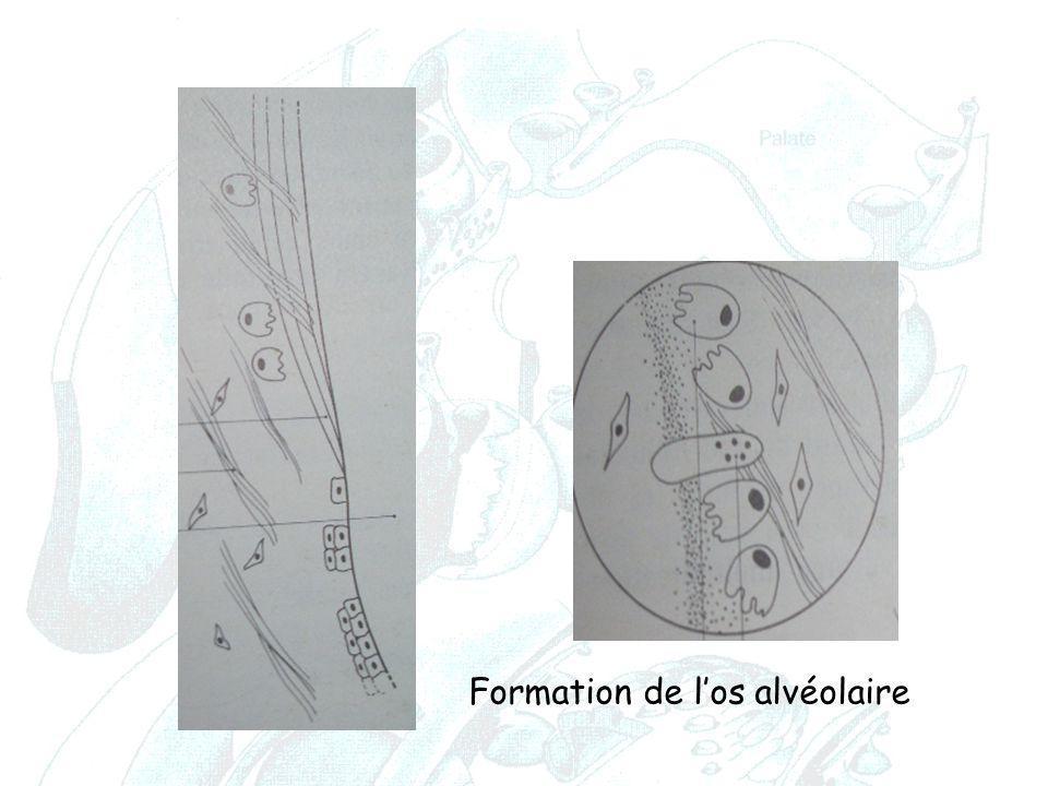 Formation de l'os alvéolaire