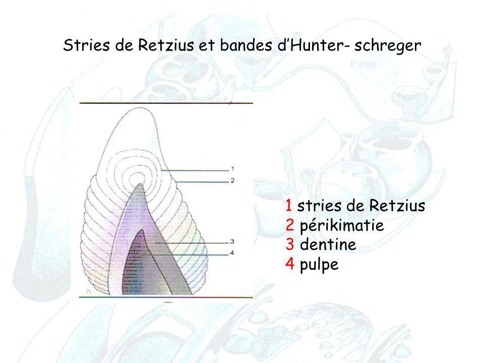 1 stries de Retzius 2 périkimatie 3 dentine 4 pulpe Stries de Retzius et bandes d'Hunter- schreger