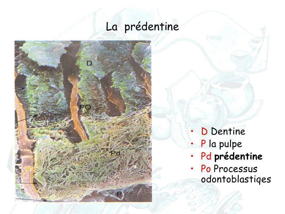 La prédentine D Dentine P la pulpe Pd prédentine Po Processus odontoblastiqes